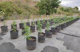Cannabis sativa 'Tiborszallasi'