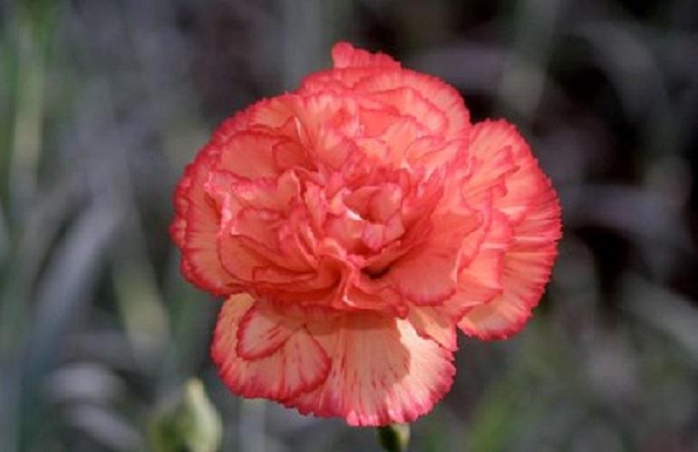 garofano by Royal FloraHolland