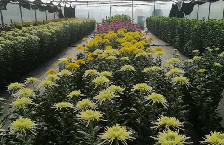 produzione crisantemi 2020