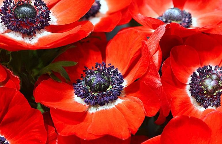 Fiori italiani anemoni