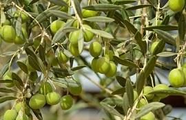 Filiera olivicolo-olearia