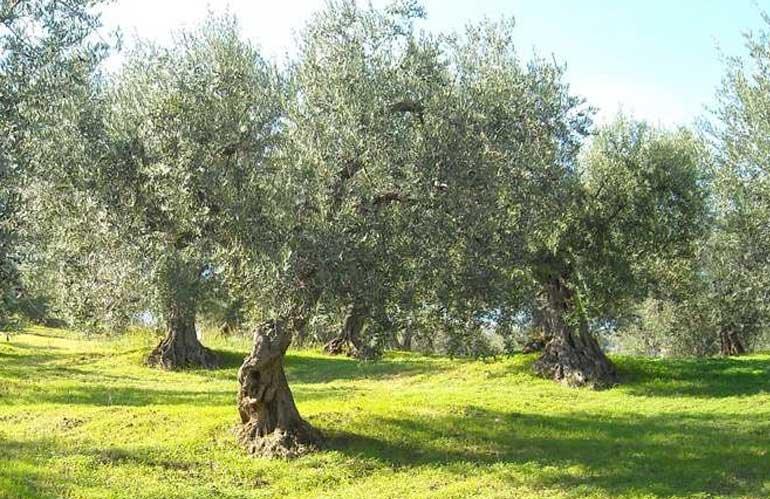 Incontro in Montalbano per la rinascita dell'olivicoltura
