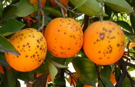 Citrus Black Spot: Cia chiede immediato blocco import agrumi da Tunisia
