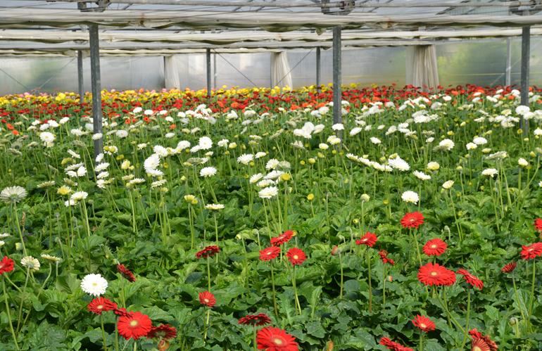 Floricoltura toscana: 834.000 € di ristori ripartiti fra 163 aziende
