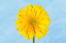 Raggi di sole floreali nelle rsa da Federfiori e Induisti il 7 marzo
